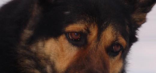Охрана собаками