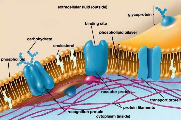 Мембрана фото